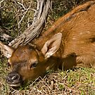 Elk Fawn Hiding in Sage by A.M. Ruttle