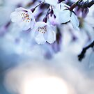Cherry tree blossoms in morning sunlight art photo print by ArtNudePhotos
