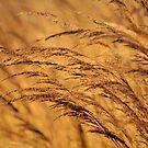Golden Fields by Brian Gaynor