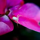 white on fuchsia by Jim Robertson