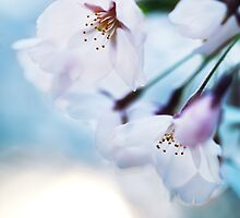 Beautiful cherry blossom flowers on blue sky background art photo print by ArtNudePhotos