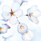 Flowers of Japanese cherry blossom in bright sunlight art photo print by ArtNudePhotos