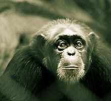 Chimp by DetresArt