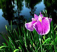 Swan Lake Iris by Hope Ledebur