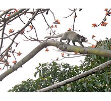 Awesome Masked Palm Civet Photographic Print