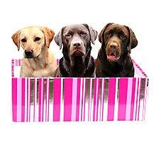 Labradors in a box Photographic Print