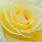 yellow rose by faithimages