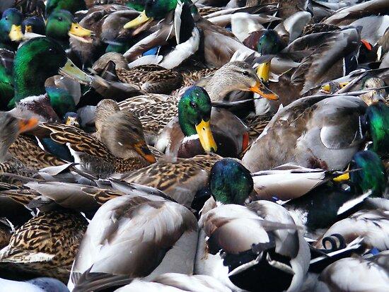 duck down by wnichol