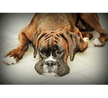 Such Is Life - Boxer Female- Photographic Print