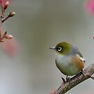 Wax eye by JaimeWalsh
