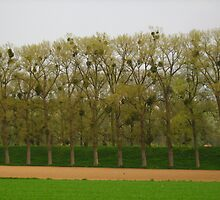 rows of trees with mistletoe by Ireentje