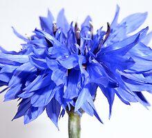 cornflower blue by Floralynne