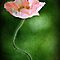 Pink Poppy by Barb Leopold