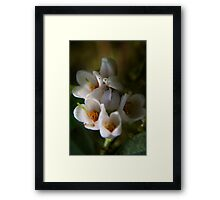 blossoms of Cowberry (from wild flowers collection) Framed Print