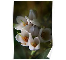 blossoms of Cowberry (from wild flowers collection) Poster