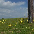 Buttercups by David Meacham