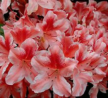 Simply Azaleas by Rodney Williams