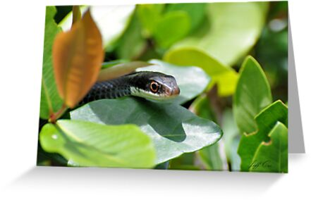 Black Racer by Jeff Ore