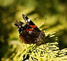 Red Admiral Butterfly by AnnDixon