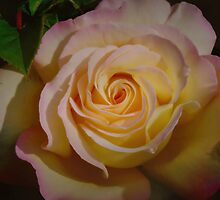 A ROSE  FORE A SPECIAL LADY by Johan  Nijenhuis