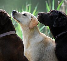 Three labradors by faithimages
