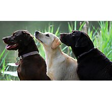 Three labradors Photographic Print