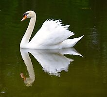 Swan Reflecting in the Lake by richardbryce