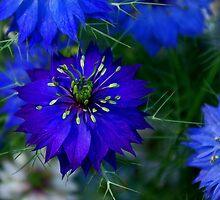 Deep Blue Nigella by kittyrodehorst