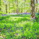 Bluebell Woodlands 1 by Colin  Williams Photography