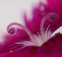 Dianthus (stamen) by Larry Trupp