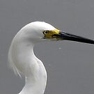 Young Snowy Egret by Gloria Abbey