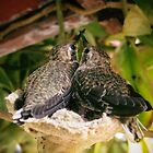 Two Baby Humming Birds by Mark Ramstead