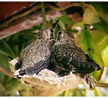 Two Baby Humming Birds Photographic Print