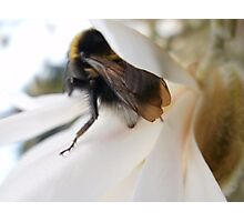 Bee at the Magnolia Photographic Print