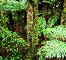 Ferns in Tara Bulga National Park, Gippsland, Victoria by Bev Pascoe