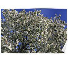 White Crabapple Tree Poster