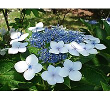 French Hydrangea Photographic Print