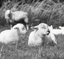 Lambs in Spring by RedSteve