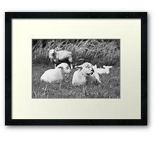 Lambs in Spring Framed Print