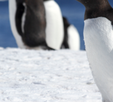 Gentoo penguins (Pygoscelis papua). Antarctica Sticker
