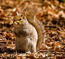 Grey squirrel by tarnyacox