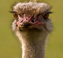 Ostrich by tarnyacox