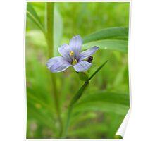 Common Blue-Eyed Grass - Sisyrinchium montanum Poster