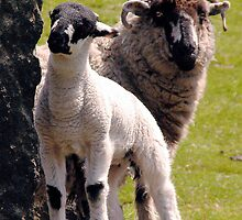 Sheep at Dovestone by Jude Gidney