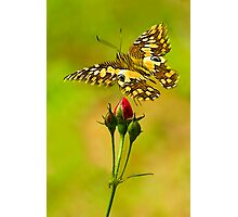 Buds and Butterfly Photographic Print