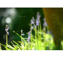 """"""" Into Bluebell Woods """" Photographic Print"""