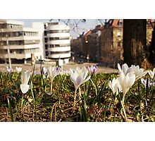 A white crocus meadow overlooking a white house Photographic Print