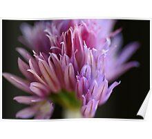Chives flower Poster