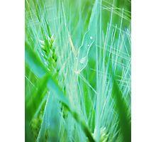 Orton Barley Photographic Print