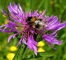 Bumble Bee on a wild Flower by ienemien